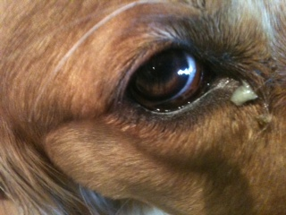 Green Goopy Eyes In Dogs
