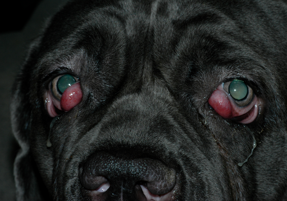 Dog Eye Discharge Treatment Home Treatment