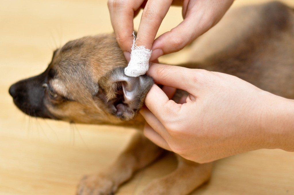 Clean Dogs Ears With Vinegar