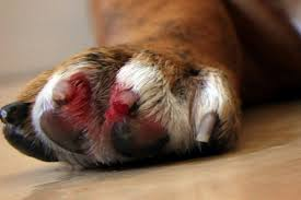 How To Stop A Dog S Quick From Bleeding