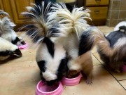 Pet skunks feeding