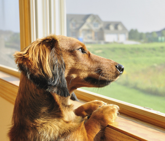 Melatonin for dogs with separation anxiety