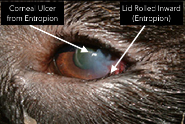 entropion in dogs symptoms causes types corrective