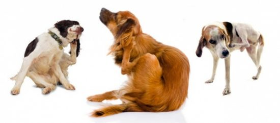 Home Remedies For Mange In Dogs Symptoms Homeopathic
