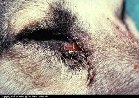 Dog Has Inflamed Eyelid Around Eye