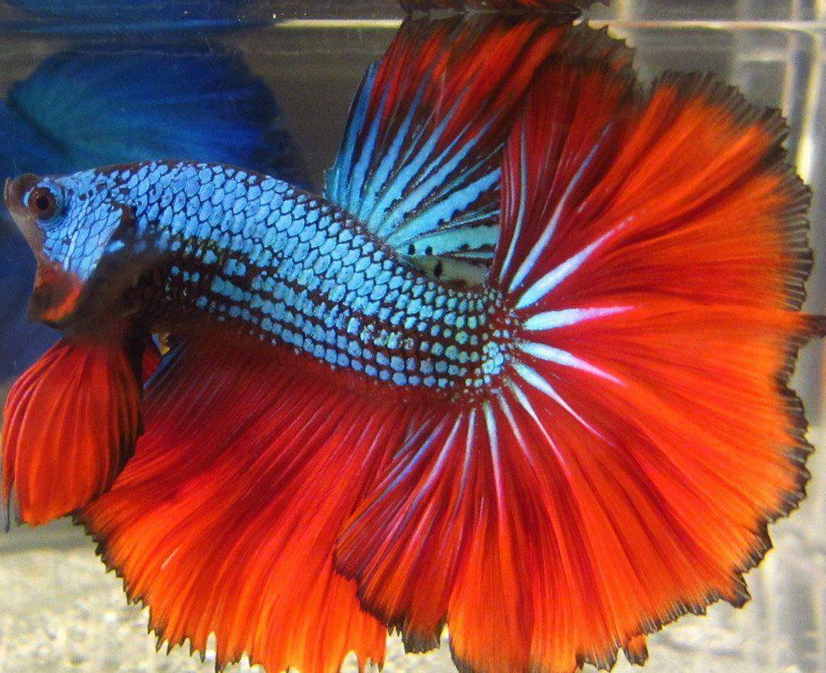 Betta Fish not Eating Pellets or Swimming, Floating Sideways, Laying ...
