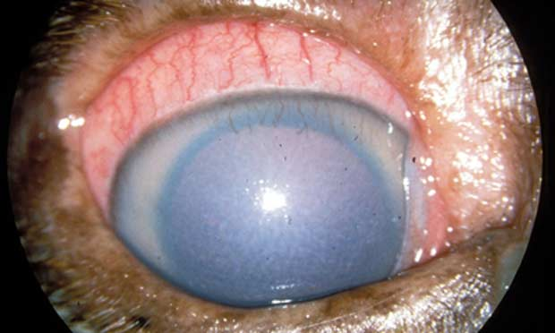 Symptoms Eye Infection Dog