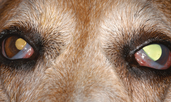 Dog Eye Injury Home Treatment