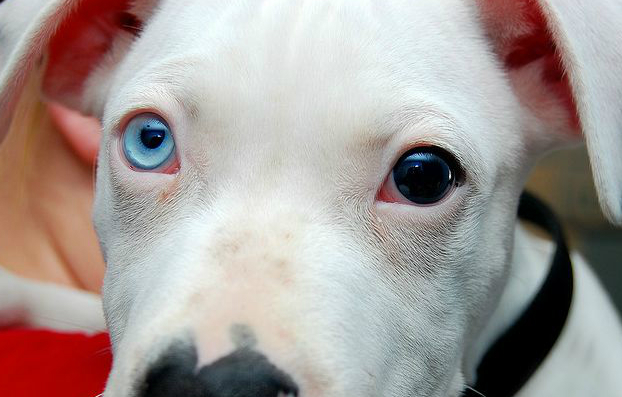 Dogs With Different Colored Eyes Breeds