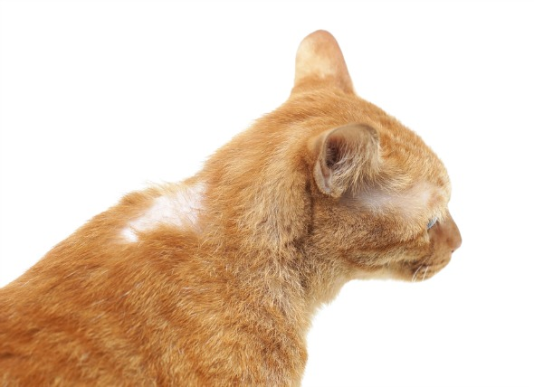 Stress In Cats Hair Loss