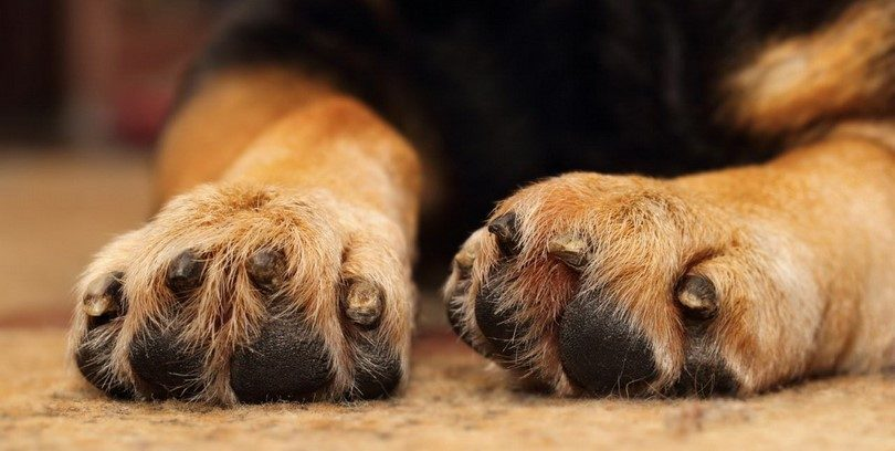 What Does Yeast Infection In Dogs Paws Look Like