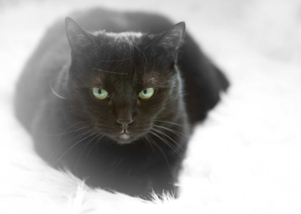 Black cat dandruff