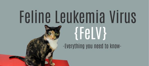 Leukemia in Cats