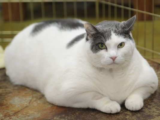 Overweight Cats Obesity In Cats Prevalence Health Risks
