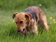 Why do dogs eat grass and vomit?