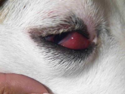 Causes Of Swollen Eyes In Dogs