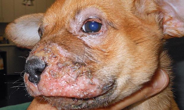 Cellulitis In Dogs Is It Contagious Causes Symptoms
