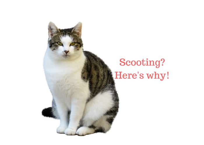 Cat Scooting (Dragging Bum on Floor): Reasons & How to ...
