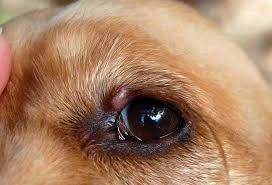 Chalazion in dogs