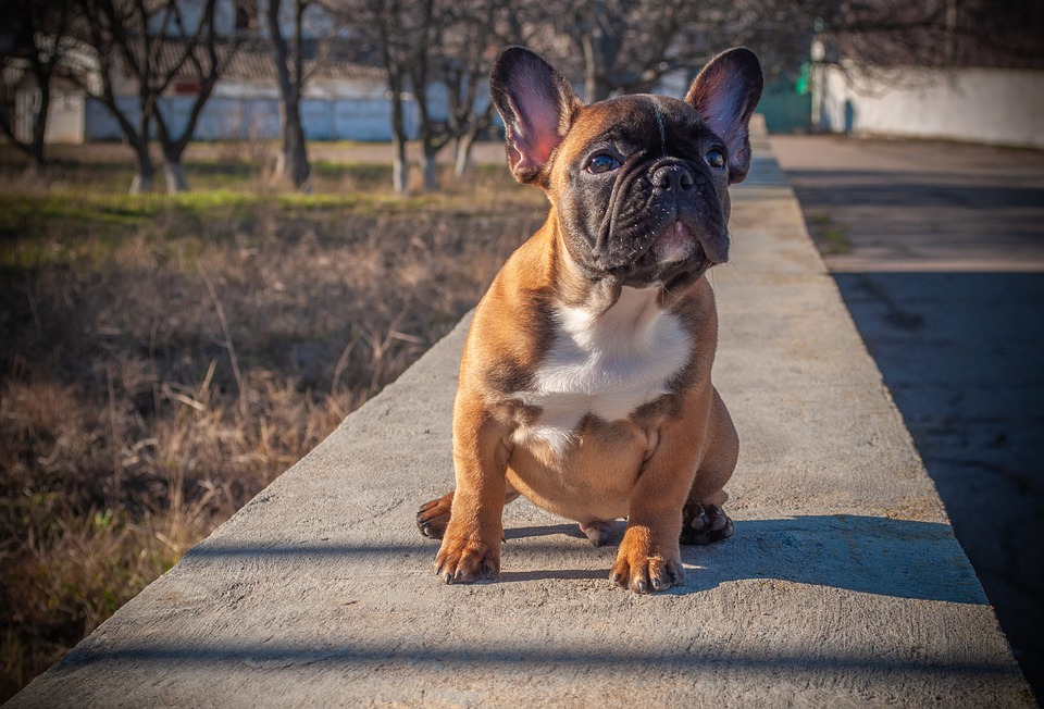 Dog Breed Guide French Bulldogs Dogs Cats Pets