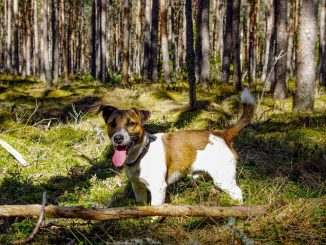 Dog Breed Guide - Jack Russell Terrier