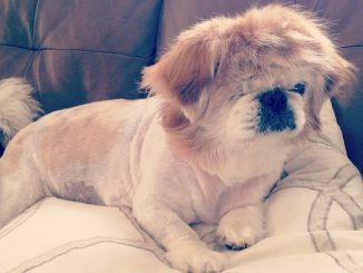 Everything You Need To Know About The Pekingese