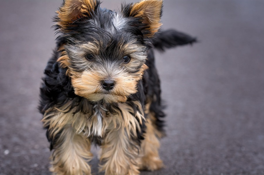 Dog Breed Guide Yorkshire Terrier Dogs Cats Pets