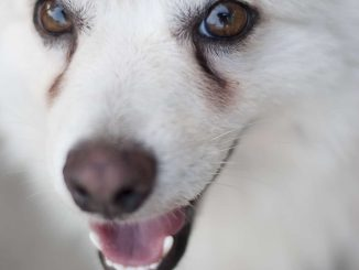 Dog Behaviors - Benefits of Yogurt for Dogs with Tear Staining