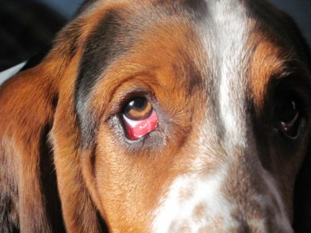 Conjunctivitis in dogs, Red eye is a most common symptom