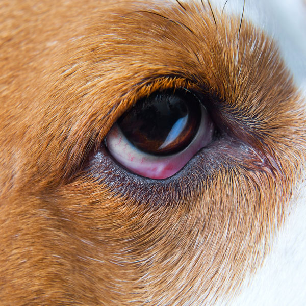 Pink eye in dogs affects thewhite part of the eye