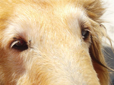 Skin Tags On Dogs Picture