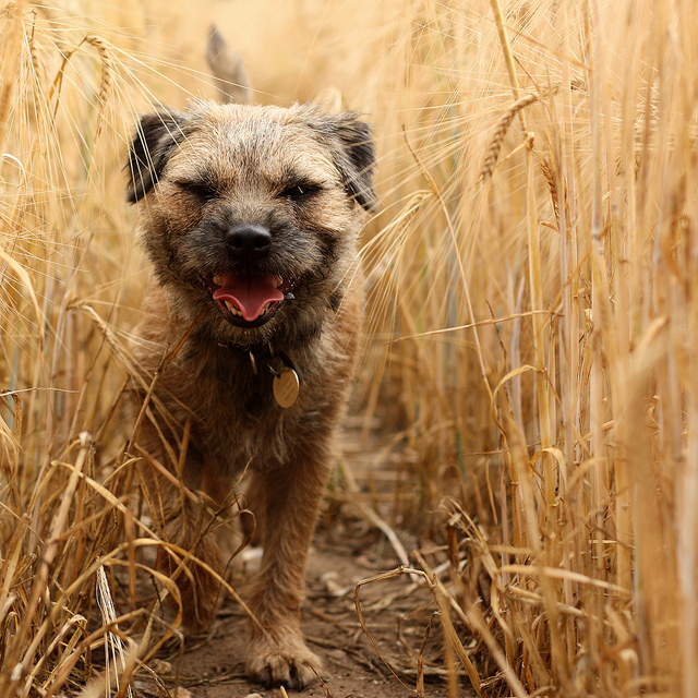 Foxtails in dogs
