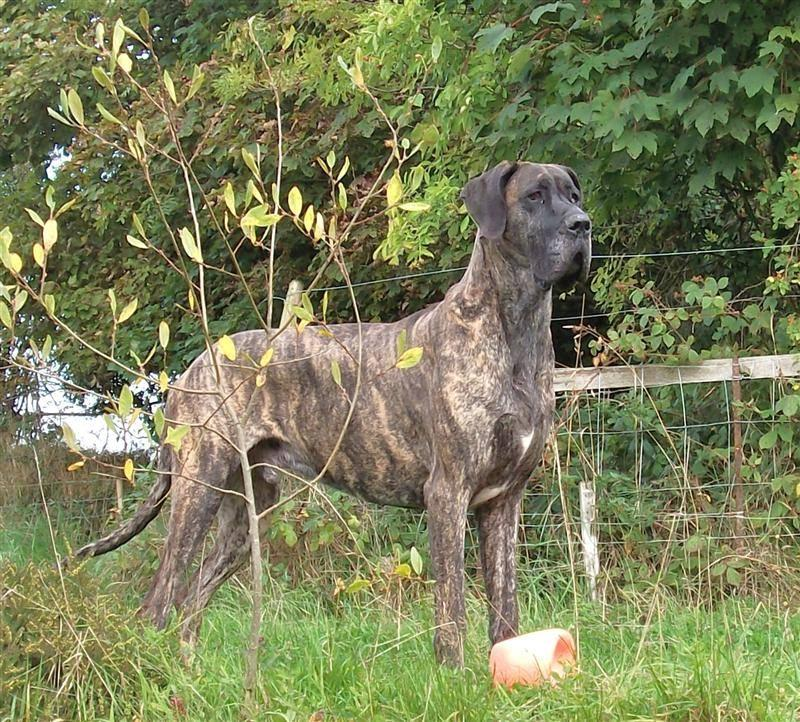 Great Dane Breed in susceptible to dog dry heaving