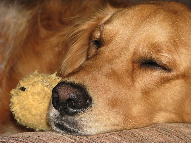 dog sleeping - Dog nightmares are not a cause for worry