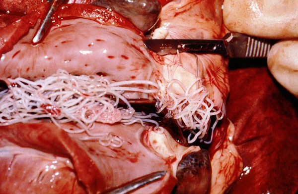 Heartworms cause tissue damage