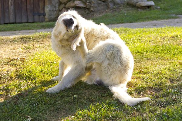 Yeast Infection In Dogs Ears Dog Ear Yeast Infection