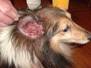 Yeast infection in dogs ears