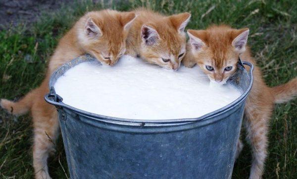Should Cats Drink Milk Lactose Intolerance Cow Almond