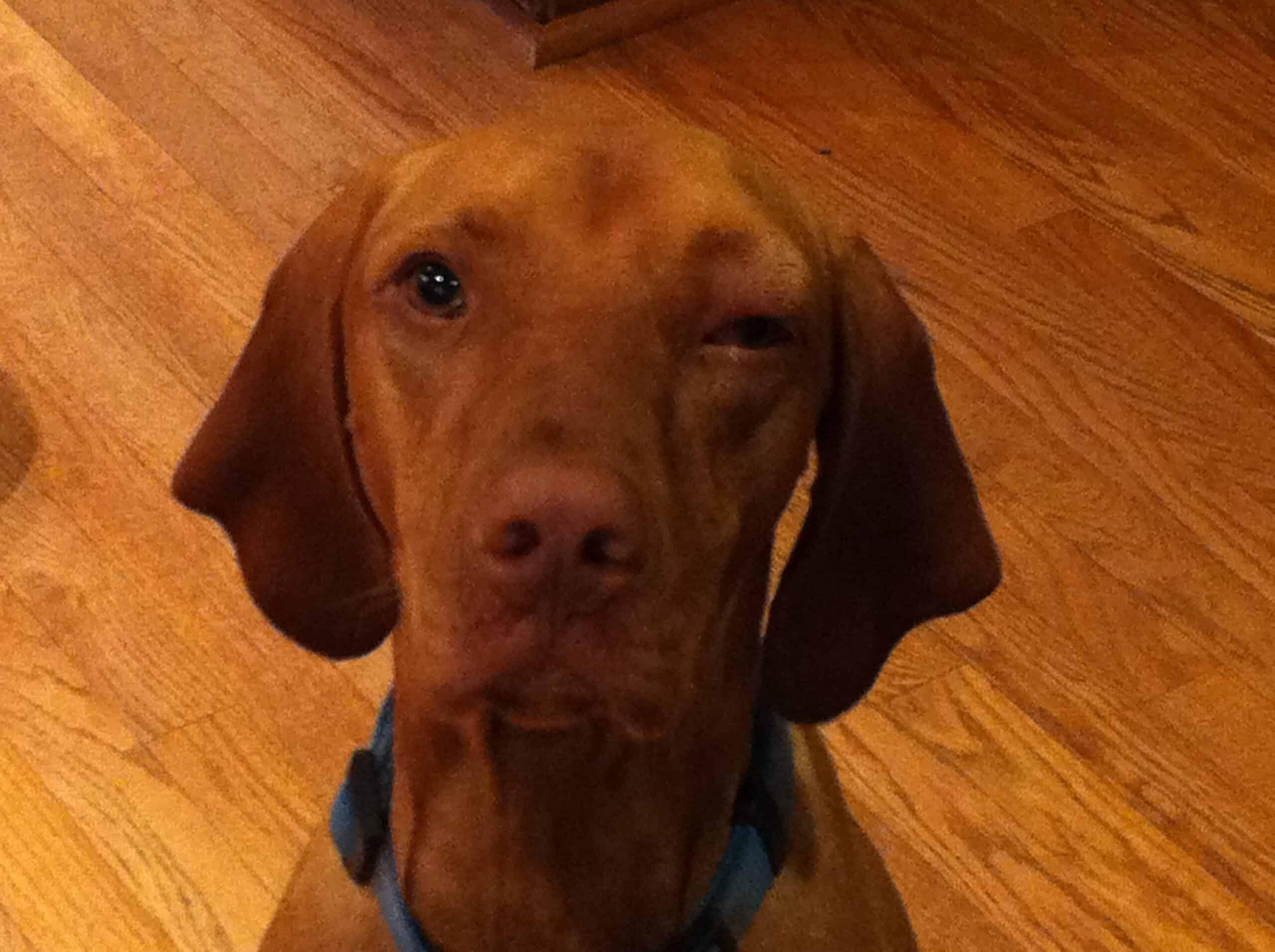 dog swollen eye
