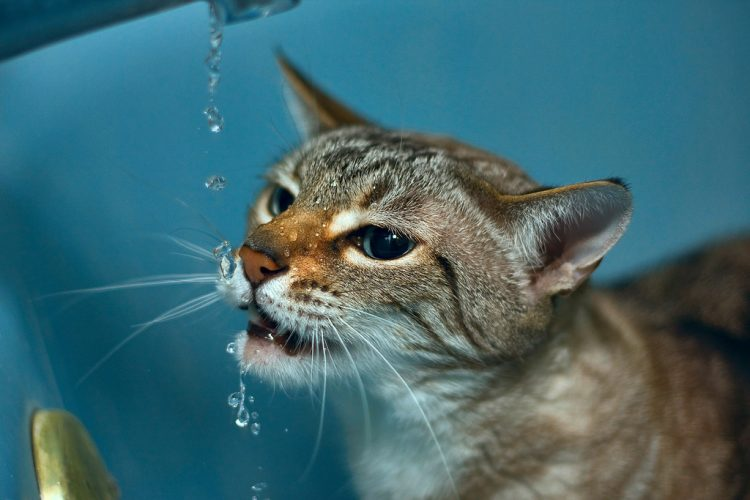 Maximum Hydration For Cysis In Cats