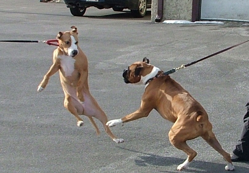 Dog barking at other dogs on leash