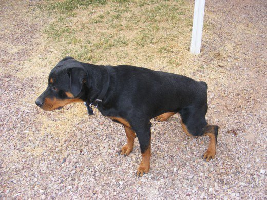 Urinary Tract Infection in Dogs