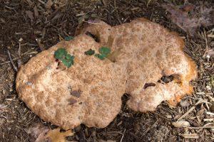 Dog vomit fungus scrambled eggs slime mold