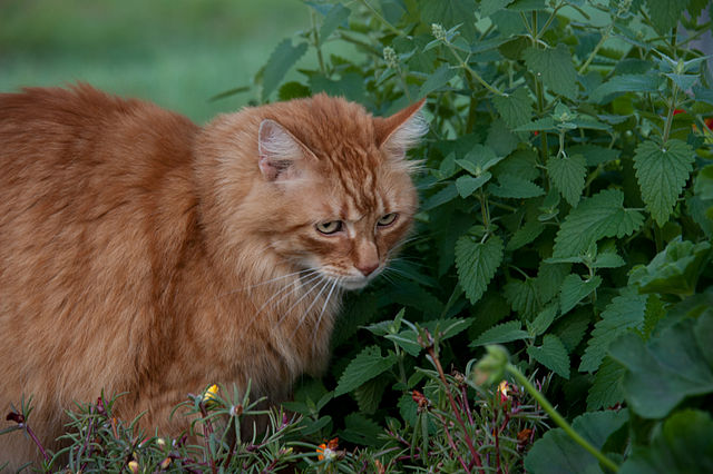 Is Catnip Good for Cats