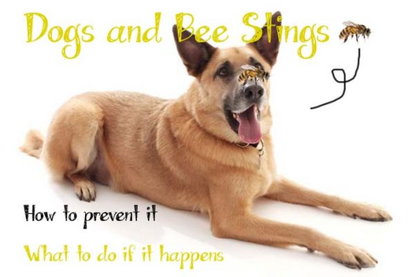 Bee Sting on a Dog