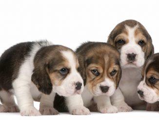 Puppies barking