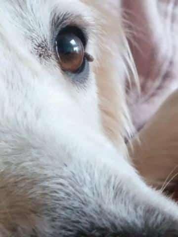 Skin tag on dog's eyelid