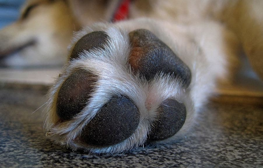 Swollen Dog Paw And Pad Common Causes Amp Home Remedies