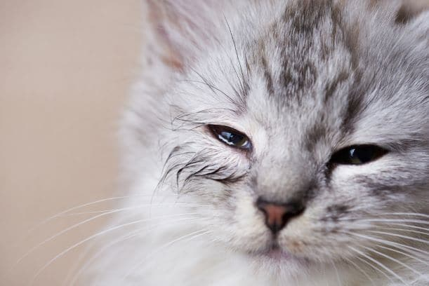 Allergies in cats causing watery blinking eyes