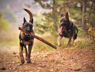 Dog Breed Guide : German Shepherd